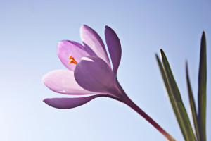 Crocus: one of the first signs of spring! Photo by Bertbthul, sxc.hu.